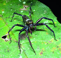 A long-legged salticid spider that has eyes with an almost 360 degree vision