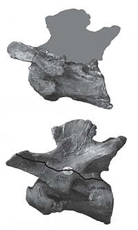 Cervical vertebra of the new spinosaur find, on top, compared to one from the Museum Baryonyx, botto