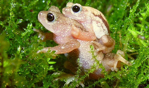 The Kihansi Spray toad lived on the wetland spray habitat of Kihansi Falls