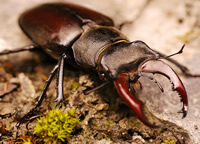 A male stag beetle with striking antler-like mandibles. The species has protected status in the UK.