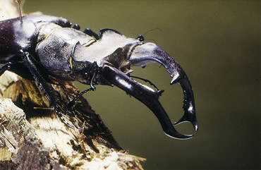 The stag beetle, Lucanus cervus, is the UK's largest beetle. Only the males have the antlers. Find o