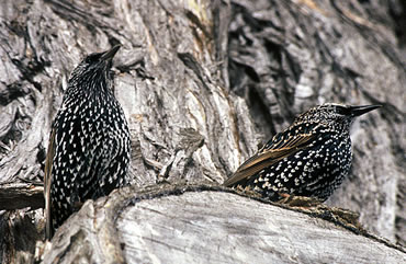 The European starling is one of the birds that has declined over the last few decades in the UK.