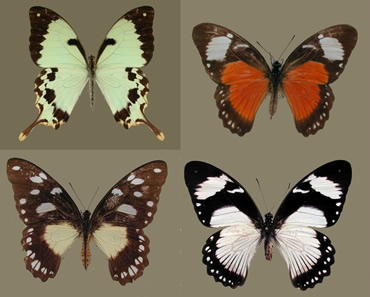 Four morphs of the mocker swallowtail butterfly