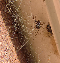 Tangle web of the Noble false widow spider