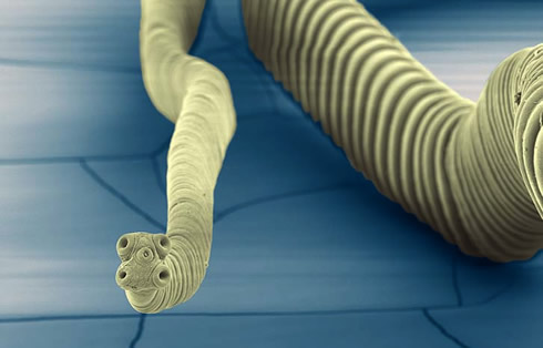 One of the tapeworm species whose genome was mapped