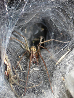 One of the long-legged UK house spiders in the Tegenaria genus