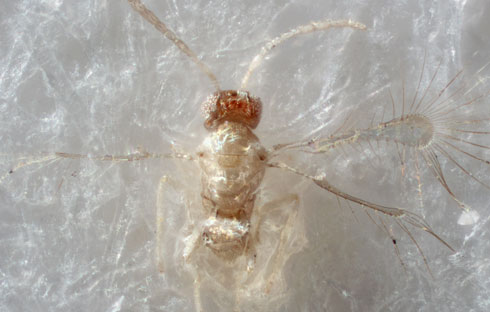 New species of fairyfly, Tinkerbella nana, is 2.5 times the width of a human hair.