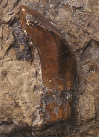This dinosaur tooth helped inspire the idea that giant reptiles once walked the Earth