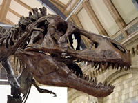 Skull of a Tyrannosaurus rex at the Museum. In March 2010 the first southern tyranfound in Australis