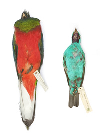 Tropical bird specimens such as these were stolen