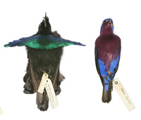 Bird specimens like these need to be kept intact and labeled to keep their scientific value