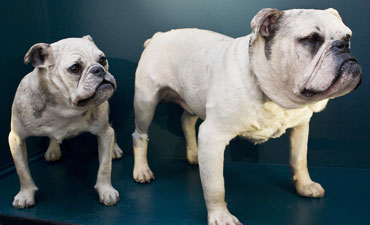 Two prize-winning bulldogs are part of the 88 domestic dog collection in the revamped Gallery 6