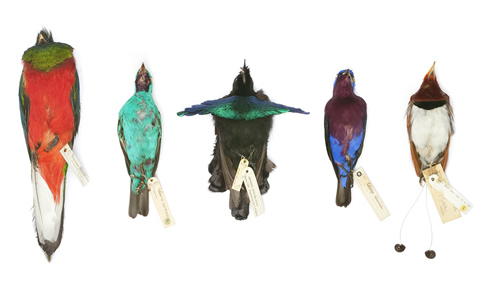 Tropical bird specimens such as these were stolen from the Natural History Museum