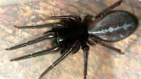 Tube web spider