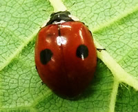 The two-spot ladybird - is it becoming less common due to the harlequin ladybird?