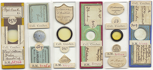 Diatoms on microscope slides