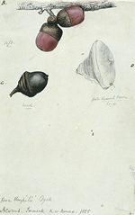 A R Wallace painting of Acorns from Sarawak