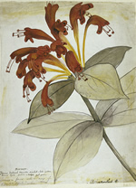 A R Wallace's painting of an Aeschynanthus  flower from Sarawak.