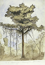 A R Wallace's painting of a tree in a rainforest clearing in Sarawak.