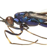 Close-up image of the parasitic wasp that needs a name