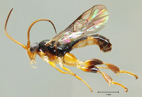 A parasitoid wasp species of the genus Orthocentrus from Ecuador.
