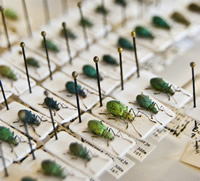 Weevils pinned in position