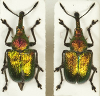 The long projection or rostrum can be seen in this close-up of 2 weevils