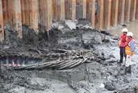Whale skeleton in the Thames mud uncovered by Pre-Construct Archaeology Limited