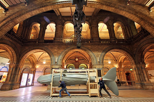 A sperm whale model arrives for the Museum's exhibition The Deep Sea opening 28 May 2010