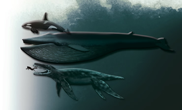 Killer whale, blue whale, pliosaur and diver. © Natural History Museum, University of Oslo, Norway