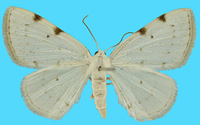 Upper side of male white-spotted pinion moth