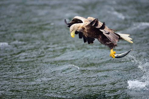 White-tailed sea eagle, UK's largest bird of prey © Lorne Gill. Scottish Natural History