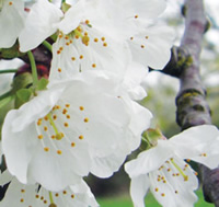 Flowers of the wild cherry tree, the most record species in the first year of the cherry tree survey