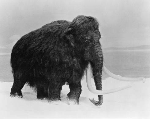 Woolly mammoths died out because climate change caused a massive decline in their grassland habitat,