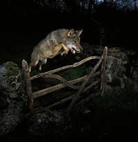 The storybook wolf ©José Luis Rodríguez/ Veolia Environnement Wildlife Photographer of the Year 2009