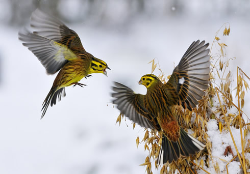 Clash of the yellowhammers © Fergus Gill / Veolia Environnement Wildlife Photographer of the Year09
