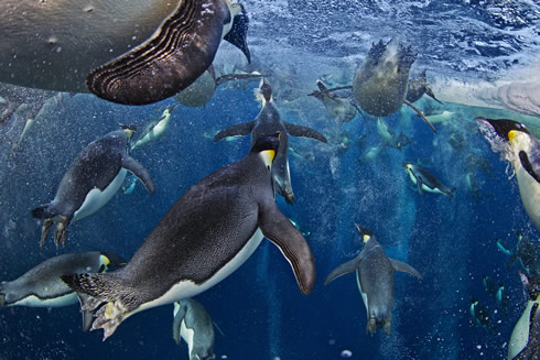 Paul Nicklen winning image Bubble-jetting emperors