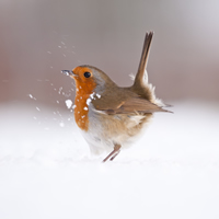 Territorial strut, highly commended image by Ross Hoddinott