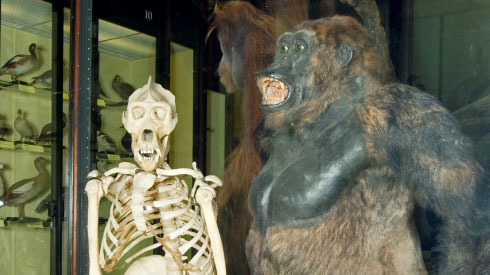 Gorilla and skeleton