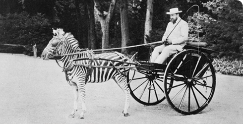 Zebra-drawn carriage driven by Lord Lionel Walter Rothschild