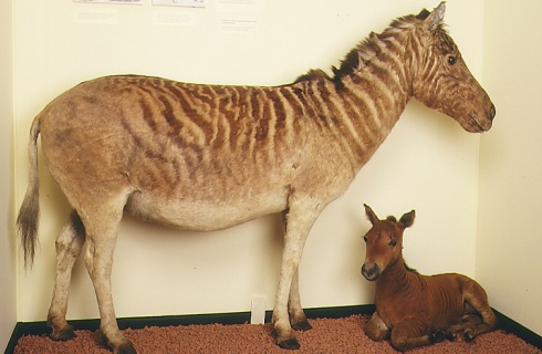 Extinct quagga