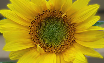 Grow a Sunflower Picture