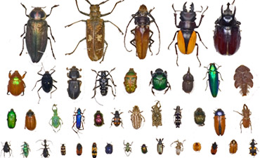 Beetles from the Museum's entomology collections