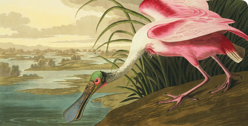 Roseate Spoonbill illustration from John James Audubon's Birds of America