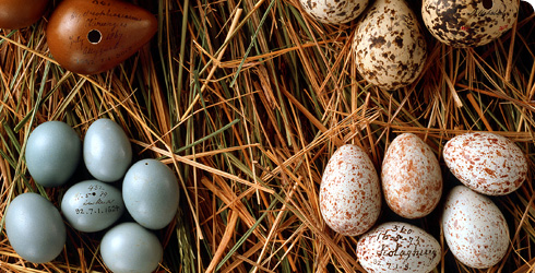 Eggs from the Hume collection at the Natural History Museum at Tring.