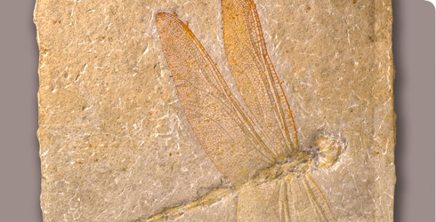 150 million-year-old fossil dragonfly from the Late Jurassic.