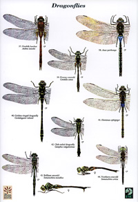 FSC Guide to the Dragonflies and Damselflies of Britain cover