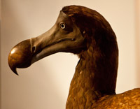 Newly commissioned dodo specimen