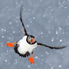 Puffin in the snow © Jan Vermeer (Netherlands), from Wildlife Photographer of the Year