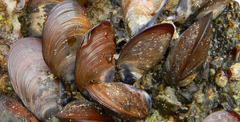 Barnacles and mussels cause damage to sea vessels.